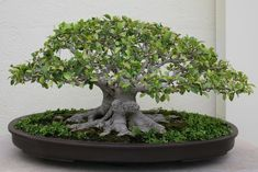 Ficus can handle pretty severe pruning, but can suffer die-back if pruned too aggressively. The Ficus Benjamina will bleed a milky white sap when pruned. Bonsai Fruit Tree, Buy Bonsai Tree, Bonsai Trees For Sale, Bonsai Tree Care, Bonsai Tree Types, Indoor Bonsai Tree, Ficus Tree, Ficus Ginseng Bonsai, Bonsai Soil