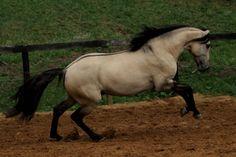 Always Love!! Dannus Dunskin Lusitano Stallion