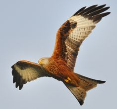 Red Kites at Gigrin Farm, Rhaydar, mid Wales