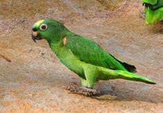 papagaio campeiro_amazona ochrocephala Brazilian Birds