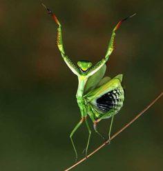 Green dancing praying mantis
