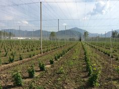 Spring hops in Slovenia.  Picture taken in May 2014 during a trip by 47Hops to the region.