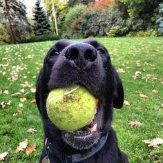 Buck the lab. #dog #dogs #katanddog #lab #labrador #labradorretriever #retriever #blacklab #blacklabrador