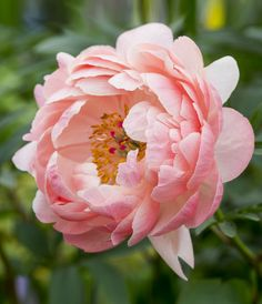 This stunning peony featured this year at the Chelsea Flower Show 2016. Paeonia 'Coral Charm' flowers in June, changing colour as it opens. It starts salmon pink, then gradually opens to orange, then finally yellow. Discover 10 beautiful peonies to grow: http://www.gardenersworld.com/plants/features/plants/10-beautiful-peonies-to-grow/5570.html