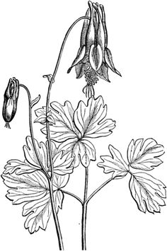 Eastern Red Columbine Coloring Page