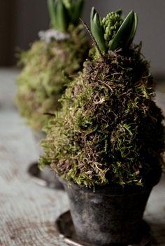 Forcing Hyacinth Bulbs for Spring - moss-wrapped bulbs placed in flower pots - Marie Elisabeth's : Ystävyyttä