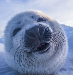 Just a baby harp seal saying hello!