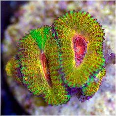 What a beautiful acan! Underwater Flowers, Underwater Theme, Marine Fish Tanks, Marine Tank, Saltwater Aquarium Setup, Reef Aquarium, Mandarin Fish, Nano Cube, Salt Water Fish