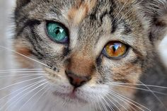 Beautiful, Look at those different colored eyes.went to school with a girl who had different colored eyes. Pretty Cats, Beautiful Cats, Animals Beautiful, Pretty Kitty, Gorgeous Eyes, Amazing Eyes, Beautiful Soul, Cute Baby Animals, Animals And Pets