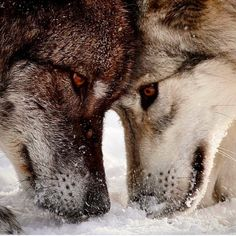 Wolves By @theelementofnature