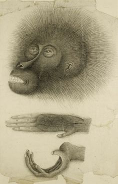 Drawing by a Chinese artist of an orangutan given to Sir Thomas Stamford Raffles, early Victorian collector and founder of Singapore, by the Sultan of Pontianak in western Borneo in 1811.