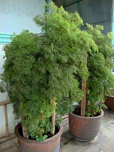 A árvore-da-felicidade-fêmea é um arbusto ou arvoreta, de textura semi-lenhosa e folhagem ornamental, cercada de misticismo e superstições. Acredita-se que a presença da planta na casa traz harmonia e felicidade…Leia mais ›