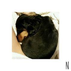 . くるん🌀くるん🌀🐶💤💤 この時はまだ鼻短かったなぁ 今じゃlongnose👃笑  #miniaturedachshund #minidachshund #dog#dogstagram #minidoxie #sausagedog #dachshund #instadog #doglover #cutedog #nodognolife #dachshundlove #sausagedogsofstagram #puppy #baby#honey #love#mybaby #ミニチュアダックスフント #ミニチュアダックスフンド #ダックスフンド #ブラックタン #短足 #胴長 #犬 #雄 #男の子 #愛犬