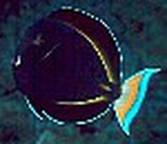 Tang and Surgeonfish Information