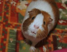 Crafts, Cavies and Cooking: Guinea Pig Pain.  Good summary of various symptoms - good to be aware of going forward.