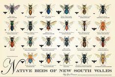 my city garden - Native Bees of New South Wales - Poster Australian Native Garden, Australian Bush, Australian Animals, Garden Pests, Garden Tools, Garden Ideas, Veg Garden, Garden Projects, Bee Identification