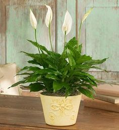 Of all the flowering house plants, Peace Lily care may be the easiest. Get tips for caring for peace lily plants, how to coax flowers, water and fertilize. 800 Flowers, Fresh Flowers, White Flowers, Peace Lily Care, Best Office Plants, Peace Lily Plant, Floor Plants, Low Light Plants, Sympathy Flowers