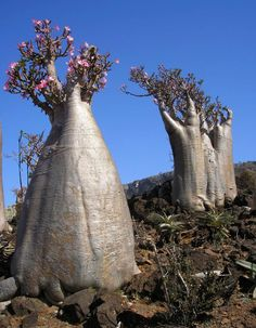 """Desert rose Another unique species of plant, Socotran """"desert roses"""", whose obese trunks are adapted to store water, stand on a hillside in Wadi Diksam on Socotra island..com"""