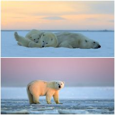 Such a beautiful sunset and admire the polar bears