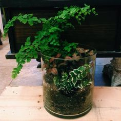 great vancouver florist A tropical terrarium featuring a Maidenhair Fern, Nerve Plant, and Creeping Ficus  #terrarium #tropicalplants #vancouverplantshop by @mayhewflorist  #vancouverflorist #vancouverflorist #vancouverwedding #vancouverweddingdosanddonts