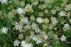 fiori di campo bianchi - Cerca con Google