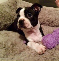 Cute 8 Weeks Old Boston Terrier Puppy Named Luna In Her Bed