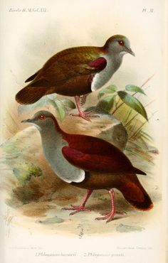 2609. Bronze Ground Dove (Alopecoenas beccarii) | found in New Guinea, the Bismarck Islands and the Solomon Islands archipelago in subtropical or tropical moist lowland forests and subtropical or tropical moist montane forests