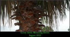 Mourning doves hanging out in our palm tree...