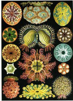 Ernst Haeckel (1834-1919) | The Balsamean
