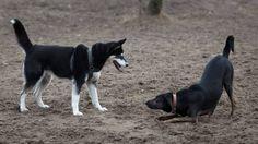 Spiel und Ernst bei Hunden unterscheiden