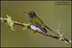 Nature Photography by Glenn Bartley The booted racket-tail (Ocreatus underwoodii) is a species of hummingbird. It is found in the Andean cordillera of Bolivia, Colombia, Ecuador, Peru, and Venezuela. A population also occurs on the Venezuelan coast. This is the only species in the monotypic genus Ocreatus