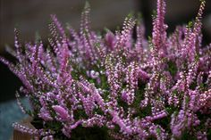 heather bunches, we decorate wreaths with this and it sells quickly!