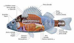 Resultado de imagen de peces oseos de agua dulce+ejemplos