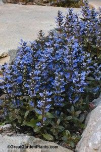 Ajuga Chocolate Chip - Fast growing groundcover competes effectively between tree roots.  Tight growing mats will keep the weeds at bay. Super easy.