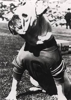 Uga I(Which looks like a American Pit Bull Terrier,than a English Bulldog,like the current mascot.This is my opinion.I am a Georgia Girl.I went to high school with Herschel Walker.)
