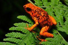 Little-devil poison frog (Oophaga sylvatica)