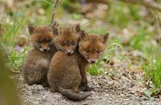 Omgosh cutest little baby wolves EVER!think they're wolves, but maybe foxes? Hmmm IDK for sure? But way cute irregardless Cute Baby Animals, Animals And Pets, Beautiful Creatures, Animals Beautiful, Mon Zoo, Fox Pups, Fennec, Baby Wolves, Red Wolves
