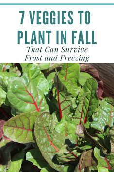 7 Veggies that can survive Freezing Plant these 7 vegetables in the fall in your backyard garden. Grow your own food by planting these freezing resistant plants in your vegetable garden. Fall Vegetables, Planting Vegetables, Growing Vegetables, Autumn Garden, Spring Garden, Gardening For Beginners, Gardening Tips, Pallet Gardening, Urban Gardening Berlin