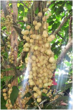 Rambai fruit tree