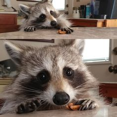 Cute Raccoon, Racoon, Funny Raccoons, Cute Dogs, Cute Babies, Cute Baby Animals, Beautiful Creatures, Wildlife, Kitty