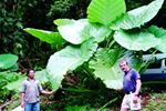 Super-Sized Elephant Ear for sale buy Colocasia gigantea 'Thailand Giant'