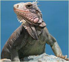 An adult Black Iguana basks in the intense sun near San Juan del Sur, Nicaragua.
