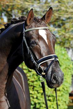 Elite Stallions: Single Stallion Page. Quatensprung, Hanoverian