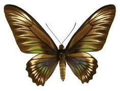 Palawan Birdwing or Triangle Birdwing, female upperside. Trogonoptera trojana (Honrath, Photo © by Naturhistorisches Museum Wien; Naturhistorisches Museum Wien, Butterfly Species, Palawan, Southeast Asia, Clipart, Moth, Triangle, Bee, In This Moment