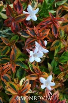 Monrovia's Kaleidoscope Abelia details and information. Learn more about Monrovia plants and best practices for best possible plant performance.
