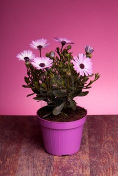 Sold! Stock photo available at 123rf: Pot with pink african daisy on wood table with pink background. Stock Photo