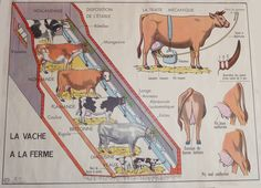 Educational board - Cow (front) / The horse (back) - Shabby chic French vintage educational board-old school Nordic Living, World Languages, French School, School Posters, Science And Nature, French Vintage, Biology, Old School, Anatomy