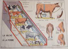 La vache à la ferme (affiche scolaire)