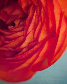 photographie botanique fleur rouge orange / couches, gros plan, oeufs de merles renoncule, turquoise, bleu, bleu-vert / orangé - 8 x 10