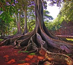 Kauai Tree in National Tropical Botanical Garden on the South Shore